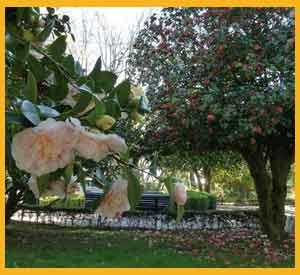 Camelias rosadas en primer plano y rojas en el árbol de atrás, Rías Baixas, en Galicia, España
