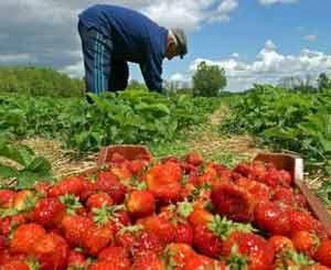Agricultor recolectando fresas en España