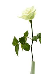 La rosa blanca con la que siempre Adriana Serlik perfuma nuestros días cuando nos envía un mensaje, saludo o poema