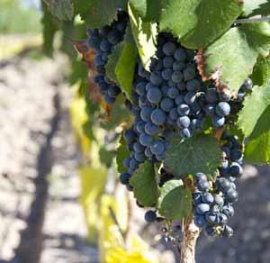 Viñedos de variedad Malbec en Argentina, donde esta uva del sudoeste francés se ha implantado y conseguido mayor calidad que en su lugar de origen