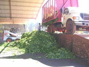 Descarga de la yerba mate en el secadero. Establecimiento yerbatero de la República Argentina
